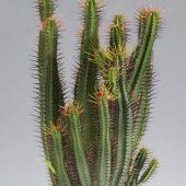 Euphorbia Heptagona