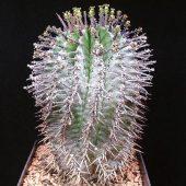 Euphorbia Horrida var. Horrida