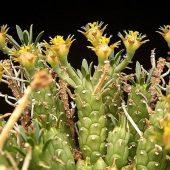 Euphorbia Maleolens
