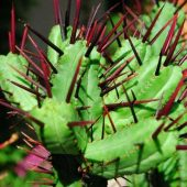 Euphorbia Pentagona