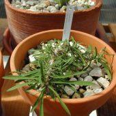 Euphorbia Sakarahensis