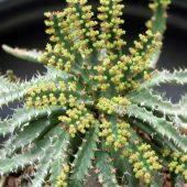 Euphorbia Stellata Willd