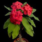 Euphorbia Thai hybrid