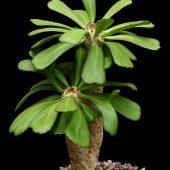 Euphorbia Unispina