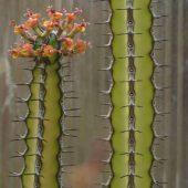 Euphorbia Vulcanorum
