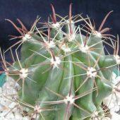 Ferocactus Herreare