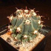 Ferocactus Horridus f. Brevispina