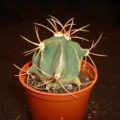 Ferocactus Hysstrix