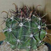 Ferocactus Peninsulae Towsendianus