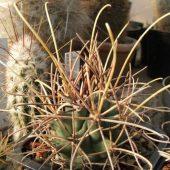 Gandulicactus Wrightii