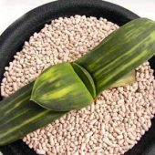 Gasteria Pillansii variegata