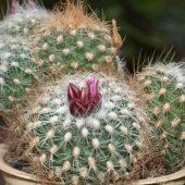 Gymnocactus Knutianus