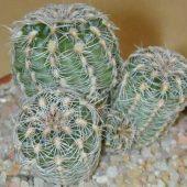 Gymnocalycium Bruchii