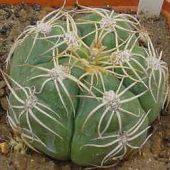 Gymnocalycium Chiguitanum