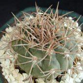 Gymnocaycium Castellanos