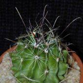 Hamatocactus Hamatacanthus
