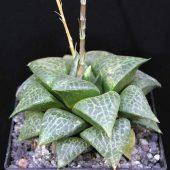 Haworthia Comtoniana