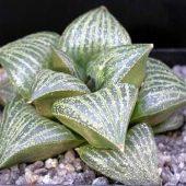 Haworthia Magnifica v. Splendens