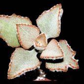 Kalanchoe Beharensis v. Fang Dessus