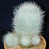 Mammillaria Albata Longispina