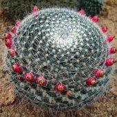 Mammillaria Albilanata