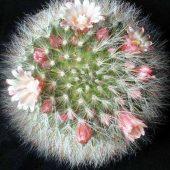 Mammillaria Bocassana
