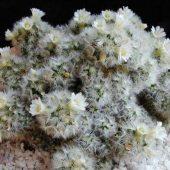 Mammillaria Carmenae Blanche