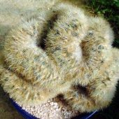 Mammillaria Carmenae Cristata