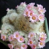 Mammillaria Carmenae Rose