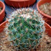 Mammillaria Droegeana