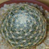 Mammillaria Dumetorum