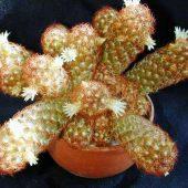 Mammillaria Elongata Anguinea