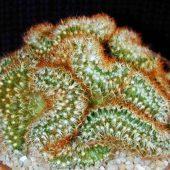 Mammillaria Elongata Anguinea Cristata