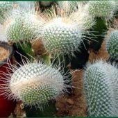 Mammillaria Geminispina f. Nivea
