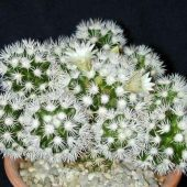Mammillaria Gracilis Arizona Snow
