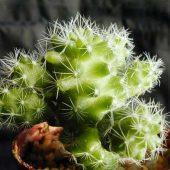 Mammillaria Gracilis Fragilis