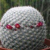 Mammillaria Haageana Haageana1