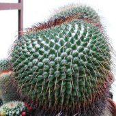 Mammillaria Hamilton Hoytea Gigantea