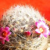 Mammillaria Lauii v. Dasyacantha