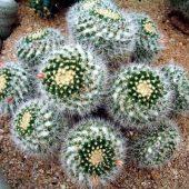 Mammillaria Nejapensis