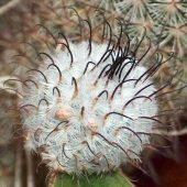 Mammillaria Parezdelarosae