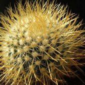 Mammillaria Pringlei ssp. Pringlei