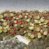 Mammillaria Prolifera v. Mexicana