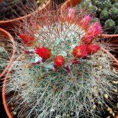 Mammillaria Rekoi