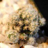 Mammillaria Saboae Haudeana