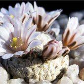 Mammillaria Sanchez Mejoradae
