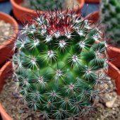 Mammillaria Spinosissima v. Rubens