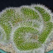 Mammillaria Spinosissima Cristata