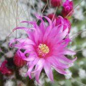 Mammillaria Spinossissima