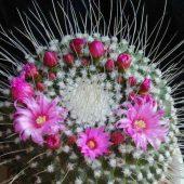 Mammillaria Spinossissima v. Pico